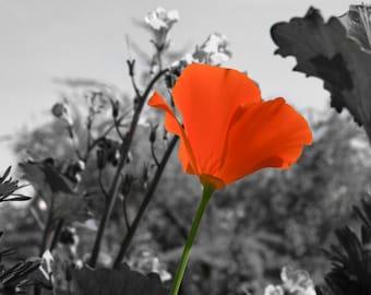 Lone Poppy Photo Print