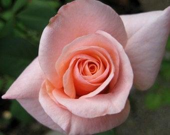 Pink Rose - 5x7 photo - Metallic finish
