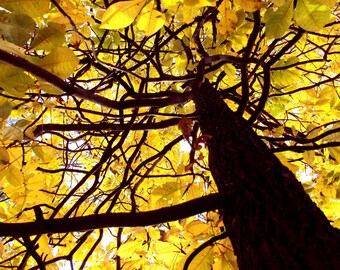 Sunlit Tree with Bright Yellow Leaves 8 x 10 Fine Art photo