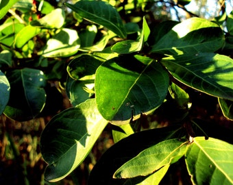 Green Leaves / Summer Colors / 8 x 10 Fine Art Photo