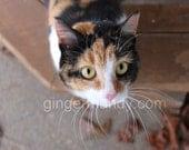 Calico cat photography 8x12 fine art print kitty black brown cat  macro