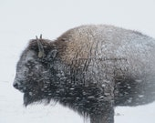 Winter Bison (8 x 10 photograph) -buffalo, snow, blizzard, Montana-