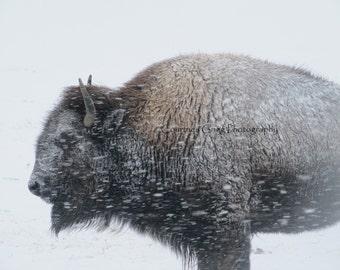 "Winter Bison (9"" x 11"" framed photography) -buffalo, Yellowstone, Montana, snow, winter-"