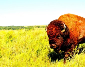 Buffalo Wall Art - Kansas Buffalo