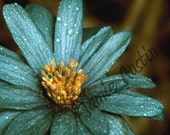 Teal and Yellow Flower Macro - 8x10 Fine Art Print