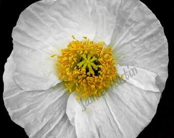 White Poppy Flower Fine Art Print - 8x10 Nature Photograph