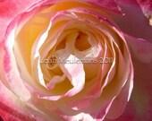 North Carolina Rose