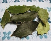 Dried Holly Leaves - Protection, Luck, Rebirth and Masculinity