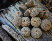 Fall Decor Acorn Caps Set of 25 organic from Utah's Wasatch Front | Acorn caps for fall diy craft projects | fall decor supplies | SALE