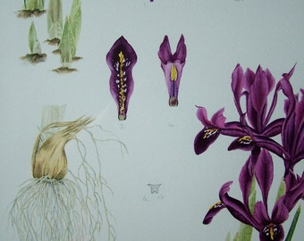 Botanical watercolour painting of Iris 'George'.