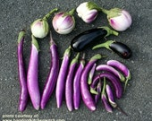 Organic Ping Tung Long Eggplant Seeds