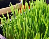 Sprouts or Grass - Organic Hard Red Wheat Grass Seed or Berries for Sprouting, Wheatgrass, Juicing, Pet Grass, or Decor - 1 lb. - MoonlightMicroFarm