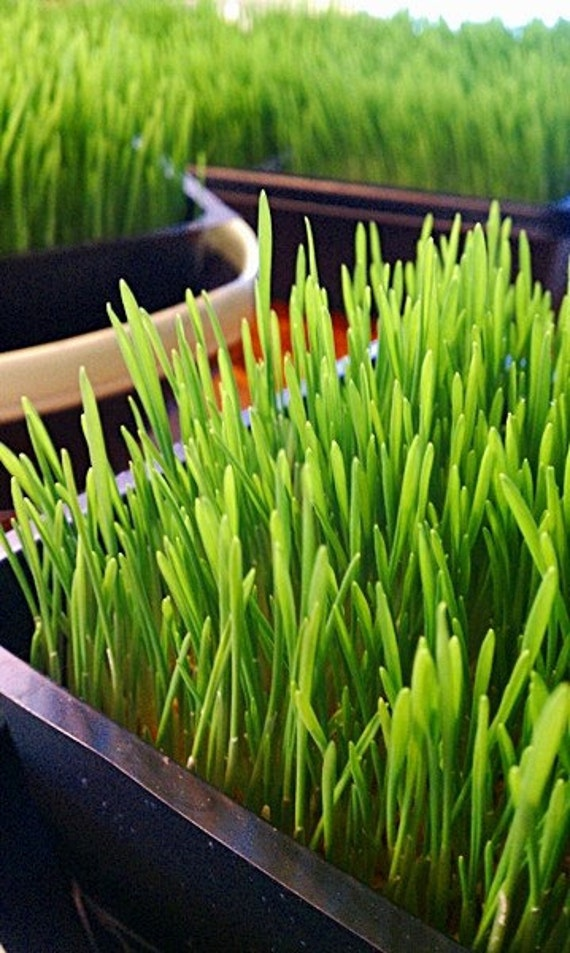Sprouts or Grass - Organic Hard Red Wheat Grass Seed or Berries for Sprouting, Wheatgrass, Juicing, Pet Grass, or Decor - 1 lb.