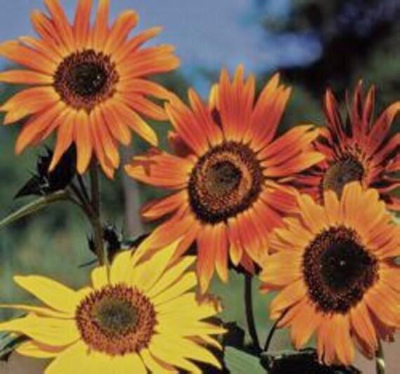 Organic Autumn Beauty Sunflower Seeds