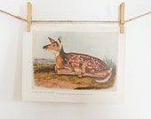 Vintage Print Audubon Virginia White Tailed Deer Color Art Print Illustration Wildlife Natural History Neutral Browns and Green