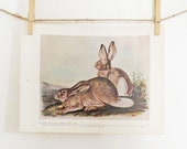Vintage Print Audubon White Tailed Jack Rabbit Prairie Hare Color Art Print Illustration Wildlife Natural History Red Browns and Green