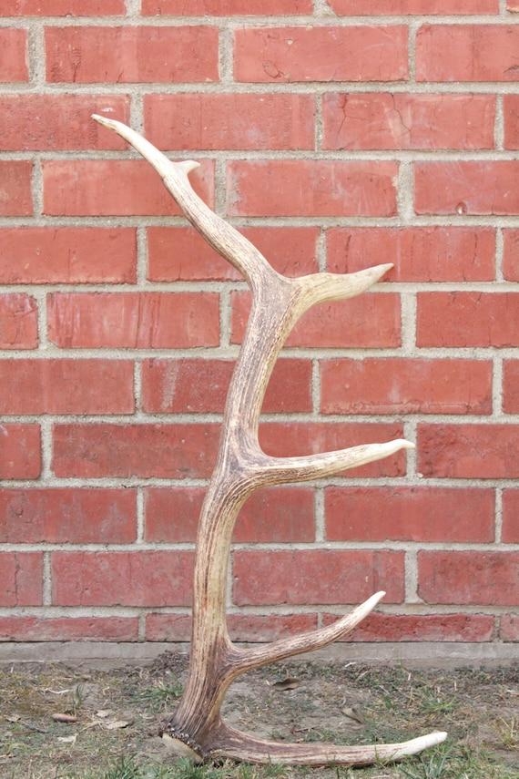 Reserved for Noni, Vintage 50's 6 point Elk Antler