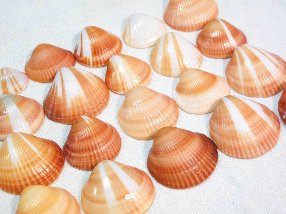 Clam Shells - 20 Large...