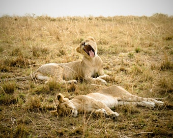 Tired Lion Cubs