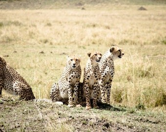 Mama With Her Adolescent Cheetahs