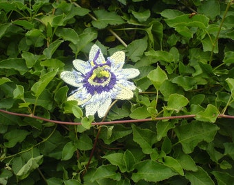 The Most Amazing Passionfruit Flower Crochet Pattern instant download