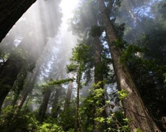 Nature Photography tree Redwood Woodland Photography  Green Wall Art Wall Decor Fine Art Photography Print