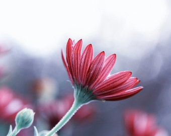Nature photography Spring decor flower photography   daisy photography grey red pastel shabby chic home decor botanical Fine Art Print