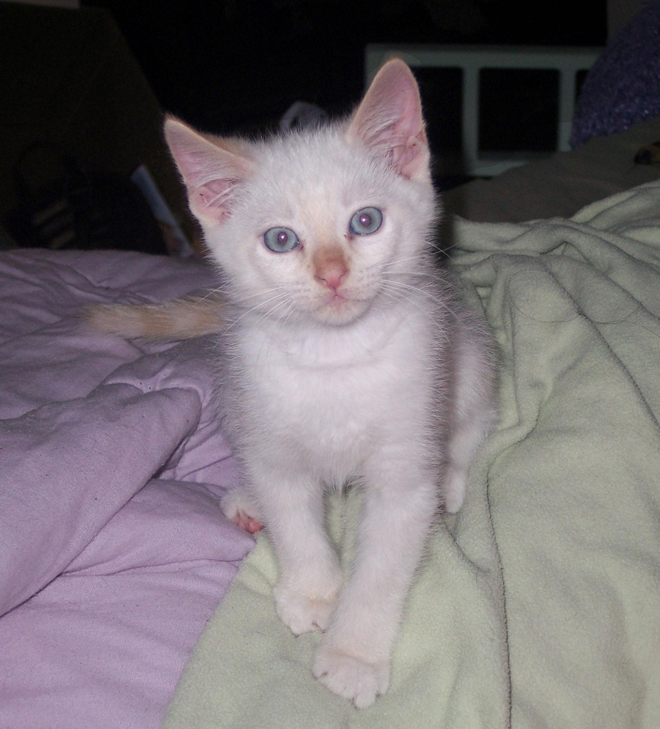 Flame Point Kitten Hiro flame point siamese
