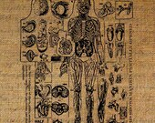 Anatomical Manican Mannequin Skeleton Digital Image Download Transfer To Pillows Tote Bags Tea Towels Burlap No. 1040