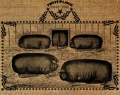 First Place Prize Pigs Farm Farming Animal Fat Pig Country Digital Image Download Transfer For Pillows Totes Tea Towels Burlap No. 2557