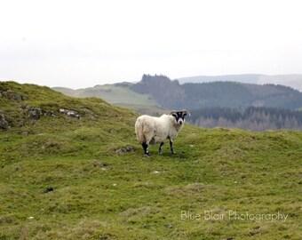 Scottish Sheep print