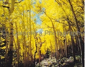 Nature Photograph, Aspen Cathedral, Color Fine Art Photography, 8x10 or 5x7 Print, Fall Trees, Great Basin Nevada, Landscape, Wall Decor