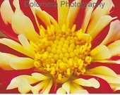 Nature Photograph, Flower Power Up Close, Fine Art Photography, 5x7 or 8x10 Color Print, Dahlia Flower Blossom, Garden, Wall Decor, Gift