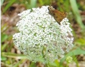 Nature Photograph, Butterfly on Queen Anne's Lace, Fine Art Photography, 5x7 or 8x10 Color Print, North Carolina Wildflower, Flower, Gift
