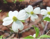 Nature Photograph, Dogwood Days, Fine Art Photography, 5x7 or 8x10 Color Print, White Spring Flowers, North Carolina Tree, Wall Decor, Gift