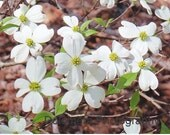 Nature Photograph, Dogwood Blossoms Abound, Fine Art Photography, 5x7 or 8x10 Color Print, North Carolina Tree, White Flowers, Wall Decor