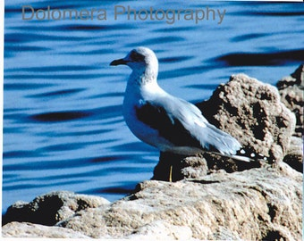 Nature Photograph, Sitting Pretty, Seagull, Fine Art Photography, 5x7 or 8x10 Color Print, Bird, Salton Sea, California Desert, Decor, Gift
