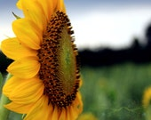 yellow green decor wall art flower photography / Sunflower Sideways