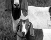 animal photography goats black white gray grey farm / 8x10 Fine Art Photograph / Somethings Are Similar