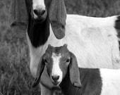 animal photography goats black white gray grey farm / 8x10 Fine Art Photograph / Somethings Are Similar