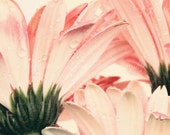 pink decor flower photography / 8x10 Fine Art Photograph / green pink blush / gerbera daisy