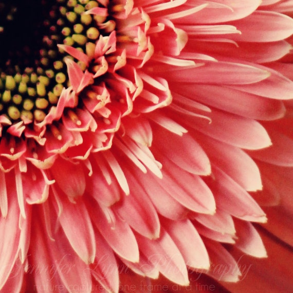 flower photography coral pink yellow black daisy / 8x8 Fine Art Photograph / Rainy Fridays n7
