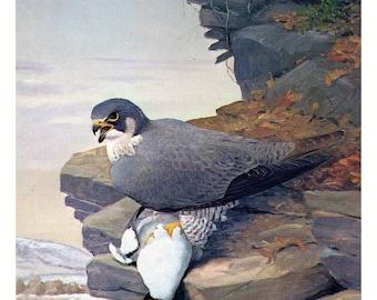 Bird, vintage print, Peregrine Falcon by Louis Agassiz Fuertes