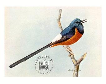 Bird, Vintage Thrush by Louis Agassiz Fuertes