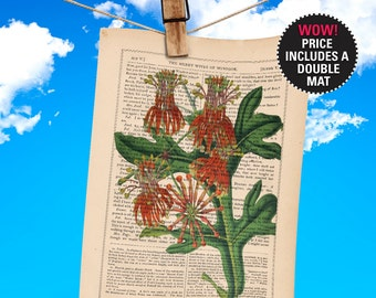 """Flower Book Print, Stenocarpus Cunninghami, Botanical Illustration printed on an 1865 Antique Book Page, Plays-Of-Shakespeare """"MAT-INCLUDED"""""""