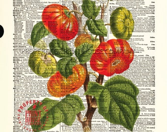 """Tomato Plant, dictionary print, vintage botanical illustration, printed on an 8.5""""x11.5"""" antique dictionary page."""