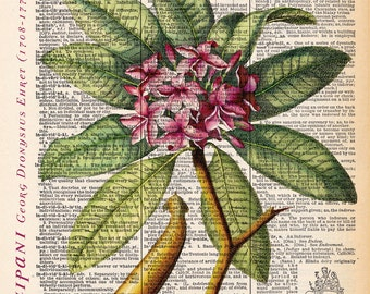 """Frangipani flower art dictionary print, Vintage Botanical Illustration, Printed on an 8""""x11"""" Antique Dictionary Page."""