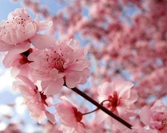 PHOTOGRAPHY, Cherry Blossoms, Spring Decor, Pink Art