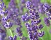 French Lavender -  8x10 Photograph.  Purple, lavender, flower, france, bloom, summer, harvest, perfume, aromatherapy