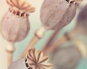 Poppy photo, winter, teal, turquoise, cream, dried poppy, fine art photo, 8x10 photo